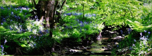 Hall Brook in Rivington with bluebells